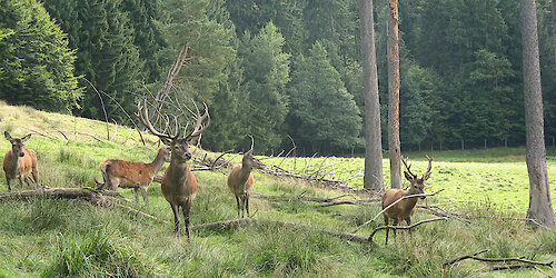 Rotwildgehege - Urlaub in Saldenburg